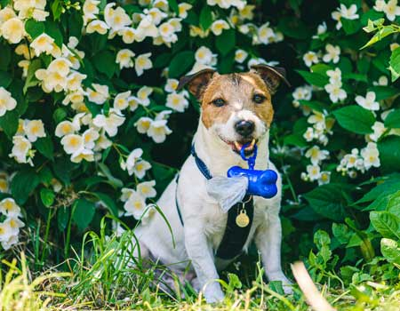 Jack Russell Terrier in front of flower wall in park