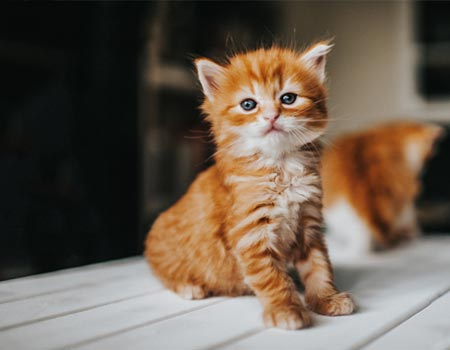 Red furred kitten