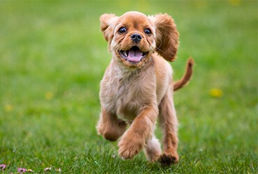 Running brown puppy