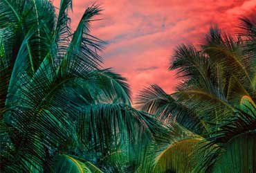 Palm trees in a sunset