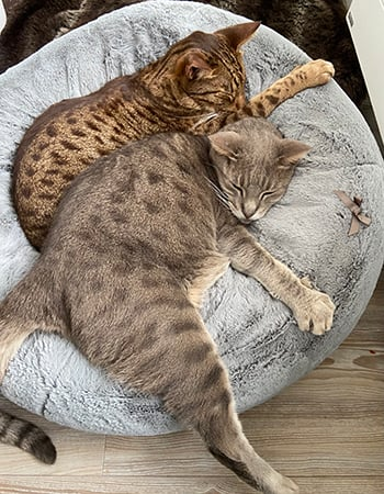 Two Ocicats sleeping together