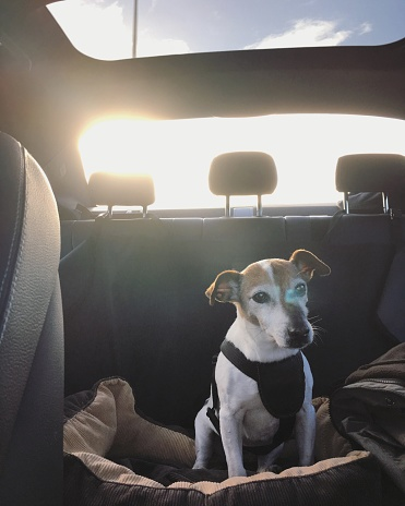 Dog in the back seat of a car