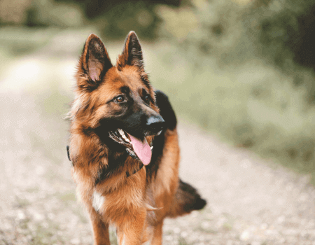 A picture of a German shepherd.