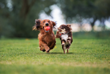 Two small dogs running in grass