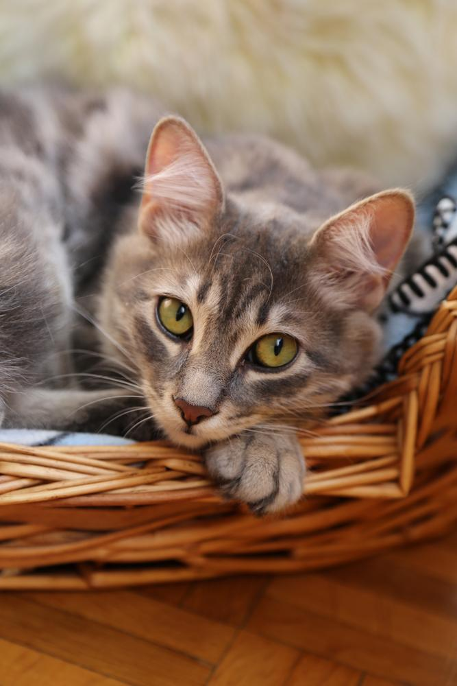 Cat lying in basket