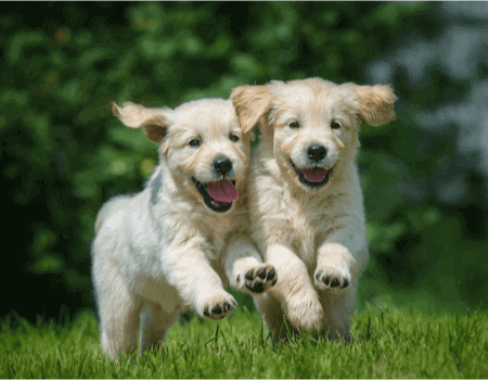 A picture of two puppies, whose owners are looking at the type of pet insurance they need for them.